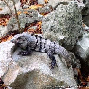 Un iguana visitando las ruinas de Tulum